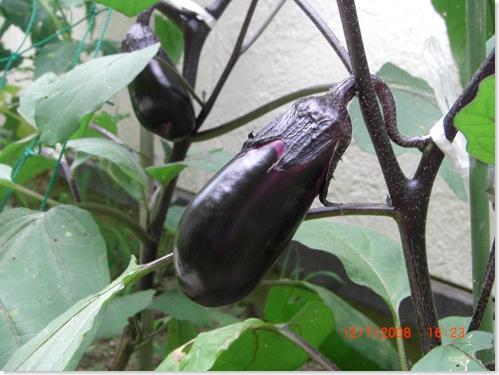 My first eggplant (brinjal)