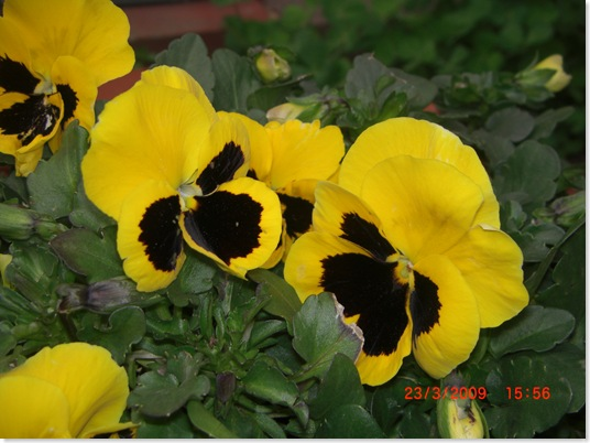 Yellow pansies nodding their heads